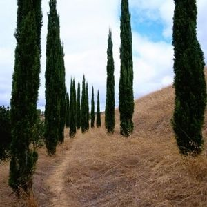 Italian Cypress. Grow easily in Texas and look so majestic, also practical as wind breaks.
