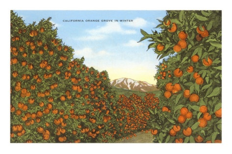 California Orange Grove In Winter Orange Grove