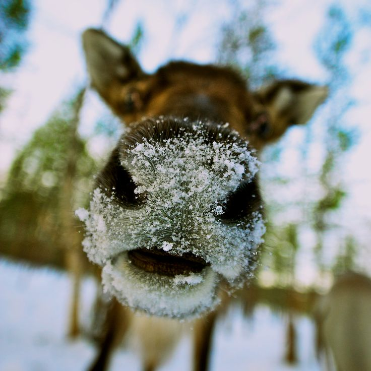 Photographer Pernille Westh | Reindeer's nose photographed in Finland. A moment from my ongoing project about the North · Get my 7 FREE basic photography tips - you need to know! http://pw5383.wixsite.com/free-photo-tips