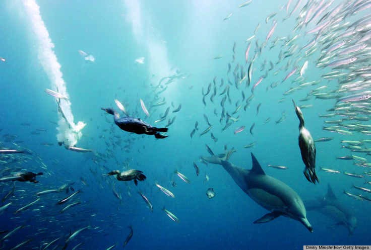 Cormorants, dolphins and cape gannets join in on a sardine run in Eastern Cape, South Africa