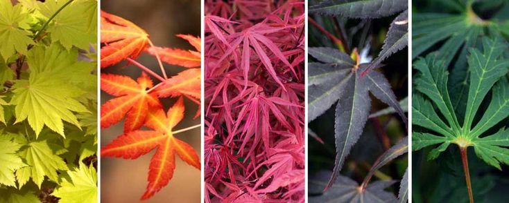 La diversité des couleurs de feuilles d'Erables japonais