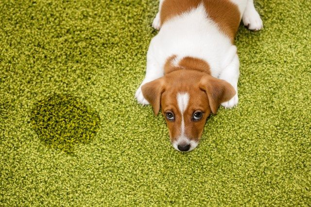 Pet Odors With Images Dog Urine