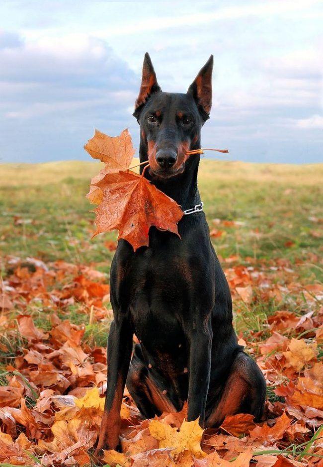 Марта, картинки доберман собака