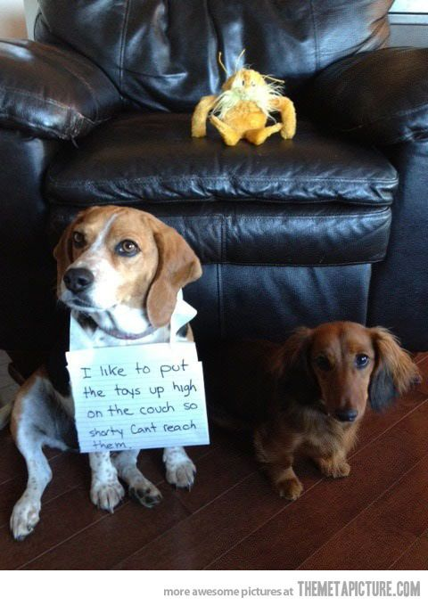 Poor shorty… this looks like my two.... Except my Doxie steals from my beagle