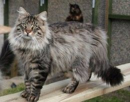 So cute :) Click here for a list of long haired cat breeds with pictures!