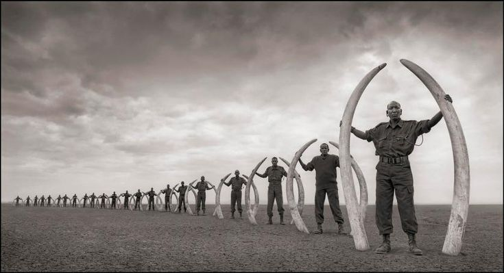 Line of rangers with tusks of elephants killed at the hands of man. Amboseli, 2011.