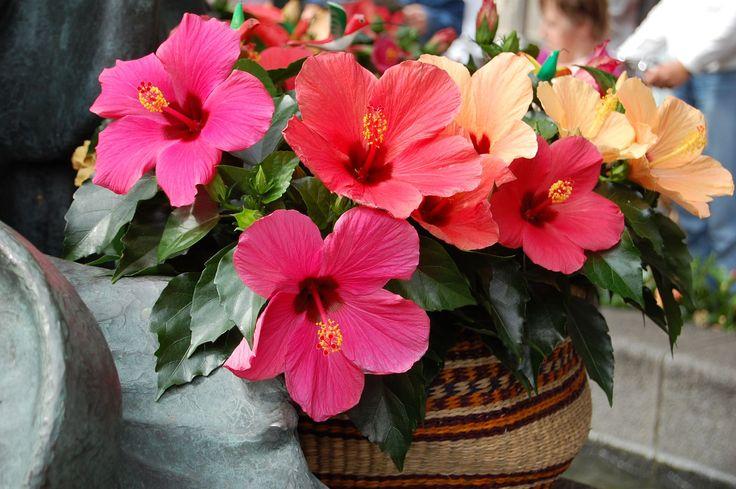 50+ фото гибискуса: экзотический домашний красавец http://happymodern.ru/gibiskus/ Великолепный яркие цветы гибискуса Смотри больше http://happymodern.ru/gibiskus/