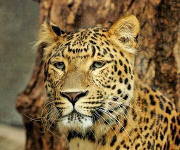 Kaeng Krachan National Park Leopard (panthera pardus)