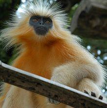 Wildlife of India - Golden Langur  One of the worlds rarest monkeys.