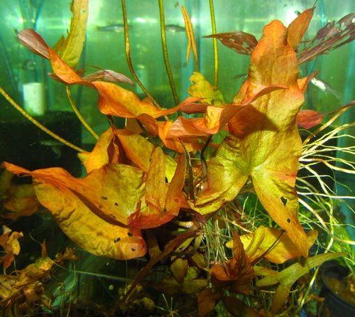 17 Best Images About Aquarium Plants On Pinterest Green
