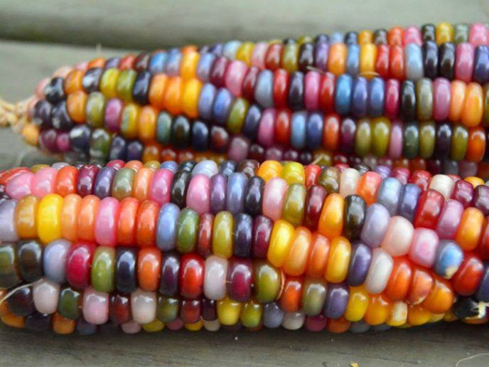 Conoce La Increible Historia Detras Del Maiz De Colores Mazorcas De Maiz Mazorcas Maiz