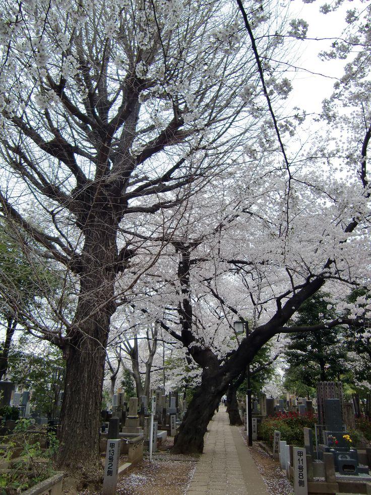 谷中霊園 2014.4
