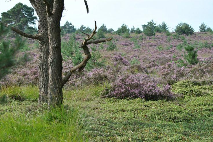 2013-08-31 De heide bloeit mooi op de Sprengenberg
