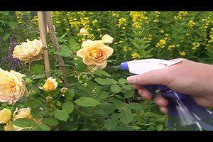 Rosen bekommen leider oft Läuse, ob grüne oder schwarze, sie sind lästig und nicht jeder möchte chemische Mittel im Garten einsetzen, vor allem wenn...
