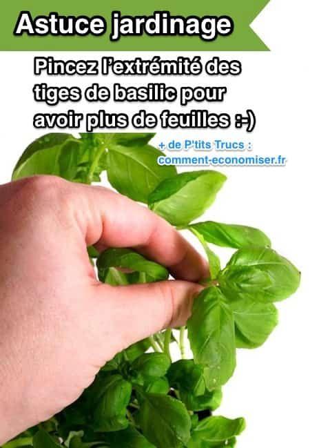 Pour augmenter le nombre de feuilles sur votre basilic, l'astuce est de pincer l'extrémité des tiges.