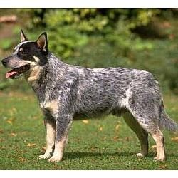 Australian Cattle Dog (Blue Heeler). I have a heeler and they are great dogs, except for they r not a pet for children, and they demand all of your attention all the time. But I Love my Boo Boo.
