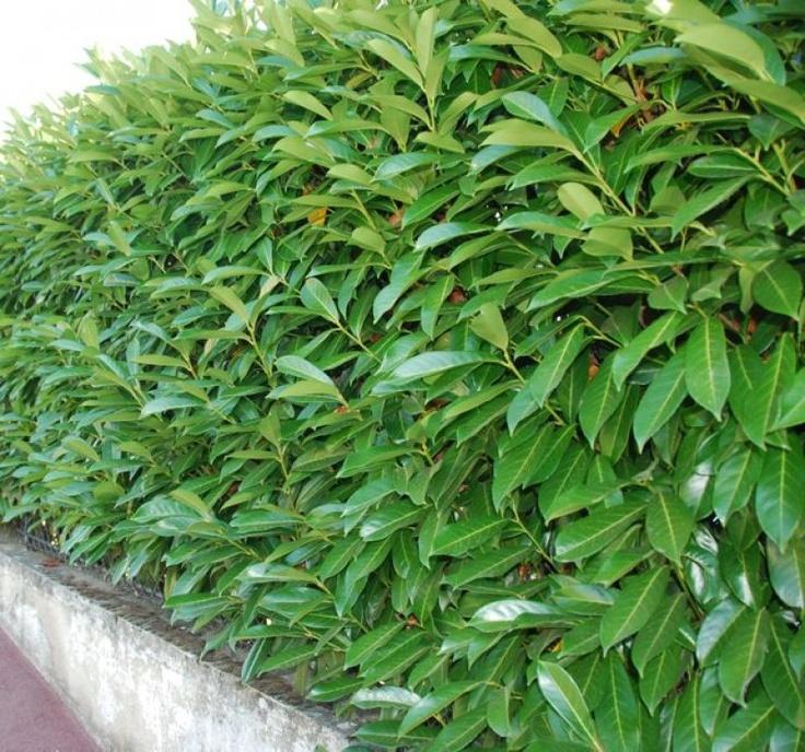 Prunus laurocerasus 'Caucasica' - Laurier 'Caucasica', hoge haag vooraan