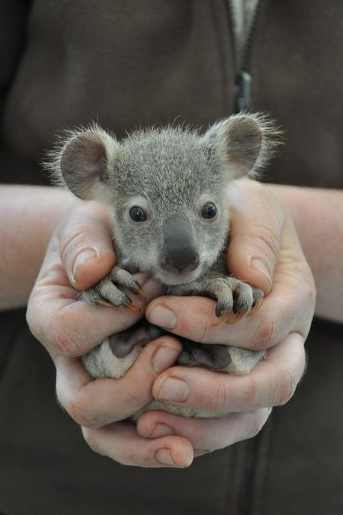 Drop everything...baby KOALA BEAR!..What big ears you have--The better to hear you with m'dear..No worries,he will grow into them..h...