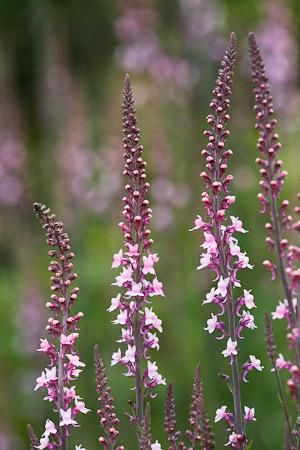 """Linaria purpurea 'Canon Went' (pink Toadflax) - USDA zones 5-10. Sun to part sun, 24"""", perennial in some zones, self-sows freely"""