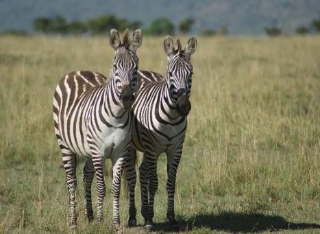A full 1 day Tsavo East safari tour excursion from Mombasa and the Kenya Coast beaches    Kenya safari tour starting from Mombasa Kenya and the beaches of Diani, Tiwi, Shanzu, Bamburi, Kikambala  http://www.naturaltoursandsafaris.com/mombasa_kenya_safaris.php