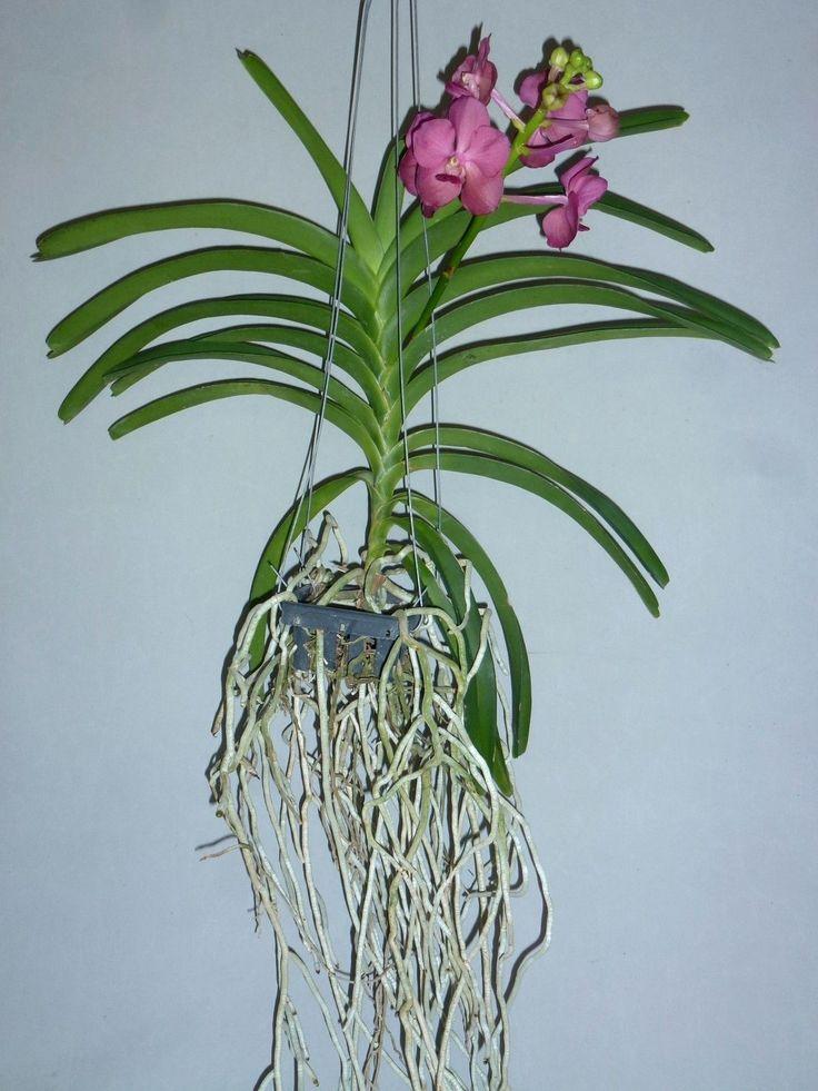 17 best images about orchideen und garten on pinterest. Black Bedroom Furniture Sets. Home Design Ideas