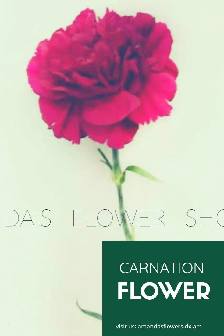 Are You Looking For Carnation In Amandas Flower Shop We Offer Different And Fresh Flowers That Will Make Sure That Carnation Flower Flower Quotes Flower Shop