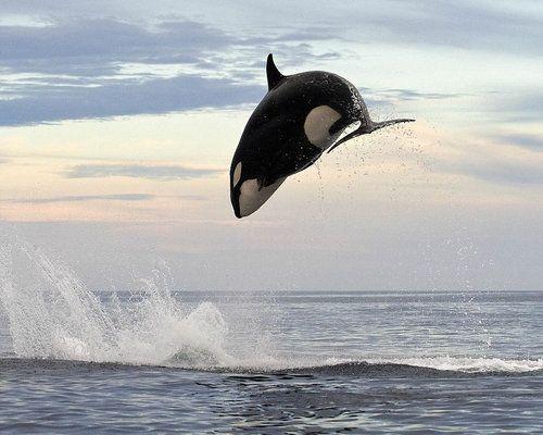 イルカを襲うシャチ03