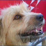 EJEMPLARES ILETSUA - Euskal Artzain Txakurra, perro de pastoreo vasco