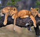Cubs On A Tree by Mario Moreno