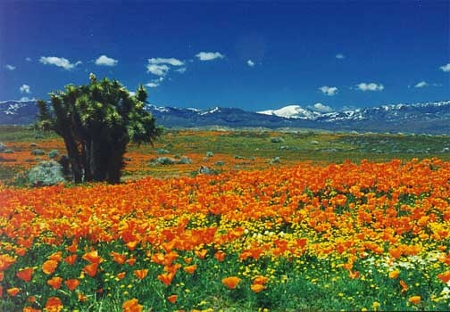 This is Palmdale, California. The poppy field.
