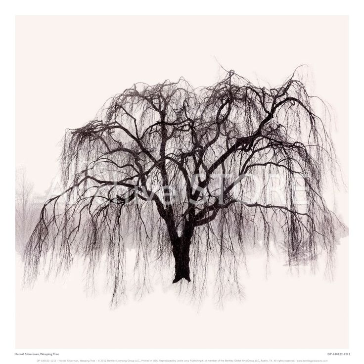 willow+tree+drawing | Weeping Willow Tree Drawings Pic #20