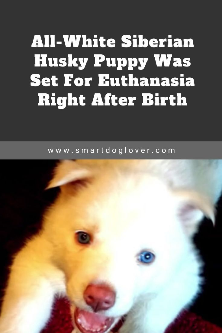 All White Siberian Husky Puppy Was Set For Euthanasia Right After