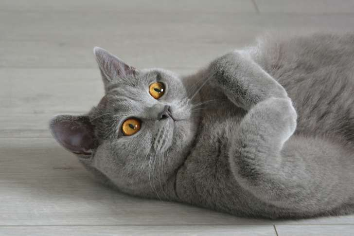 15 Animal Names That Can Be Used As Verbs British Shorthair Cats