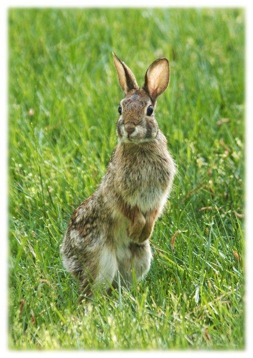 Cottontail Rabbit  5x7 Art Print  Nature by orangecatart on Etsy, $18.00