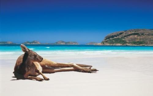 Sunning kangaroo in Lucky Bay, Australia