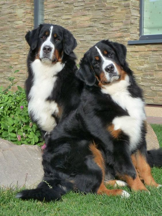 327 Best Extra Large Dog Breeds Images On Pinterest Big