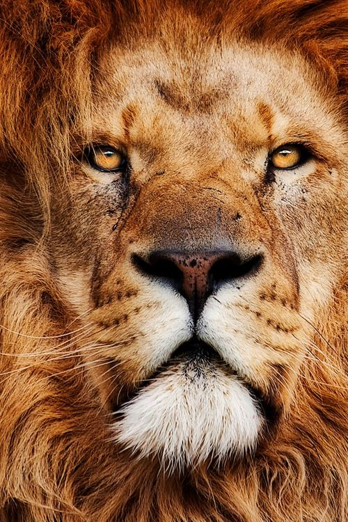 plasmatics-life:  A true King ~ By BigCatPhotos UK