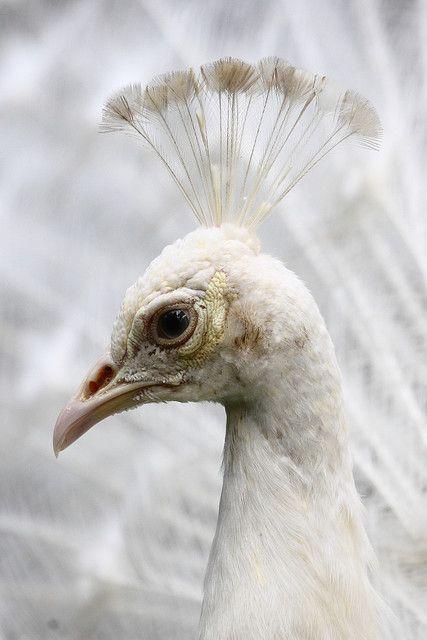 worldlyanimals:    White Peacock by detengase on Flickr.