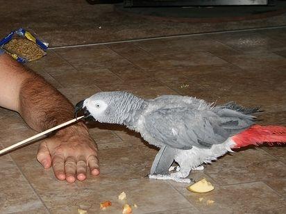 Best 25 African Grey Parrot Ideas On Pinterest Parrots