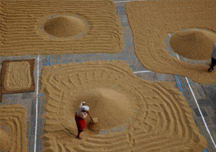 Harvesting Season in Bungmati, Lalitpur- Nepal
