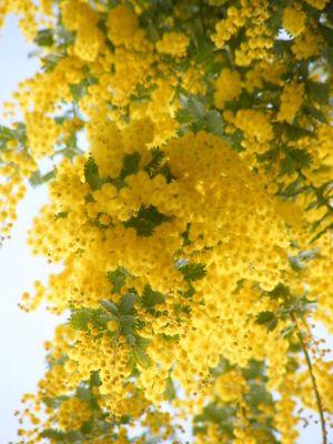 Intenational Woman Day in Italy: Classico pensiero d'#auguri per la #festa della donna: la #mimosa