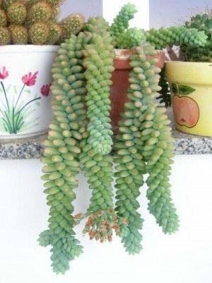 Identificación de varios cactus y crasas suculentas - INFOJARDIN