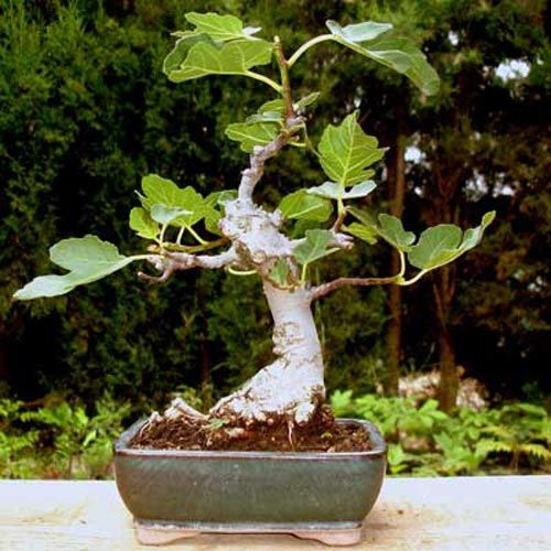 die besten 25 bonsai ficus ideen auf pinterest bonsai. Black Bedroom Furniture Sets. Home Design Ideas