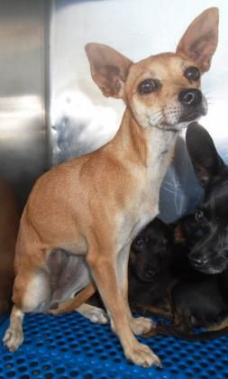 nimal ID\t33741163 \r\nSpecies\tDog \r\nBreed\tChihuahua, Short Coat\/Mix \r\nAge\t3 years 22 days \r\nSex\tFemale \r\nSize\tSmall \r\nColor\tBrown\/White \r\nSpayed\/Neutered\t \r\nSite\tCity of El Paso Animal Services \r\nLocation\tKennel B \r\nIntake Date\t10\/14\/2016 \r\n