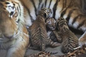 tigerunger - Google-søgning