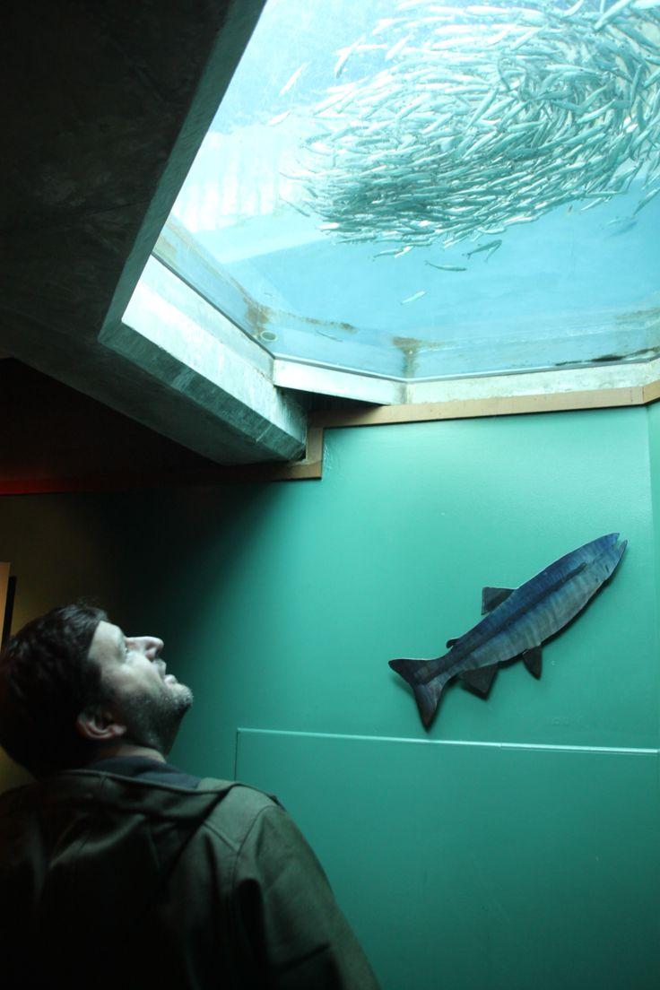 Seattle Aquarium salmon