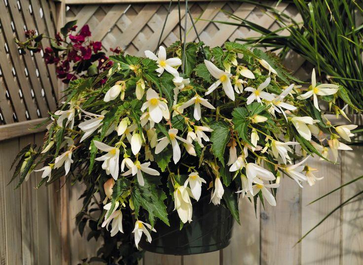 Begonia boliviensis, Santa Barbara, | Benary
