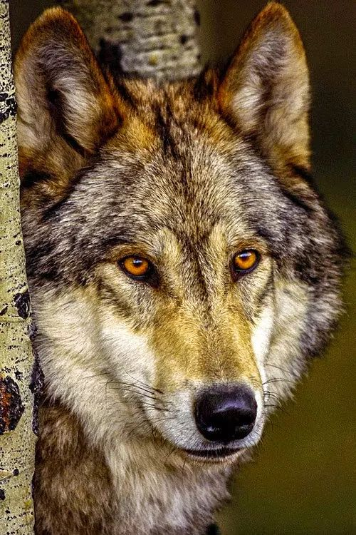 Timber wolf(Canis lupus)? Possibly a Canadian wolf, the largest in the world.