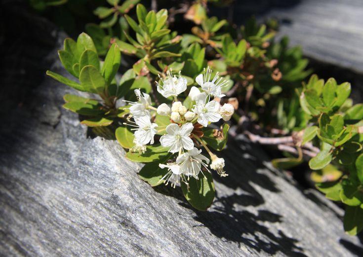 Oil Edible Plants : Best images about wild edible plants on pinterest