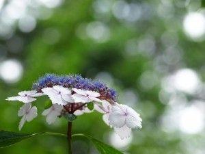 Gambar Bunga Hortensia Dua Warna Mekar